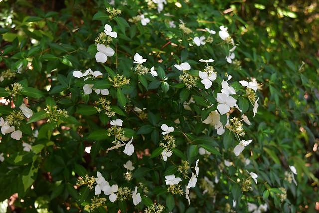 開聞岳で見た白い花・コガクウツギ