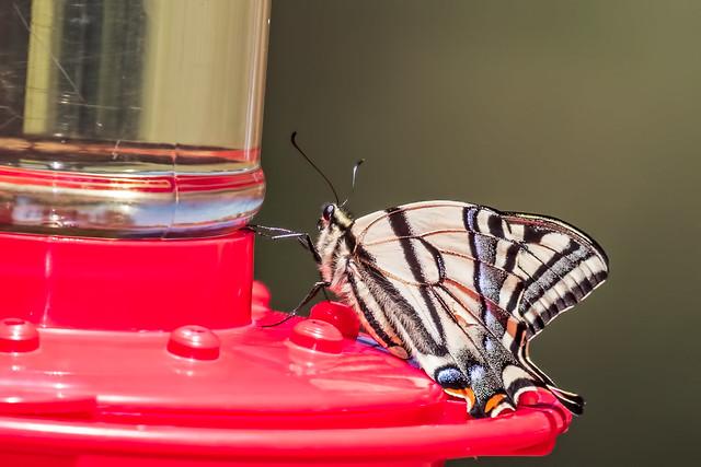 Butterfly-4-7D2-061017
