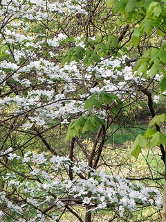 Dogwood by Penny O'Connor