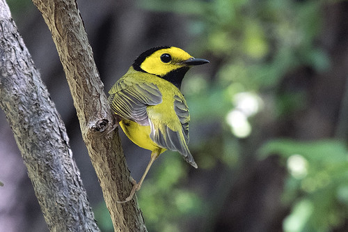 Sandy Hook: Hooded Warbler