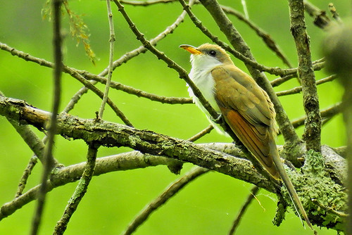 Doodletown: Yellow-billed Cuckoo