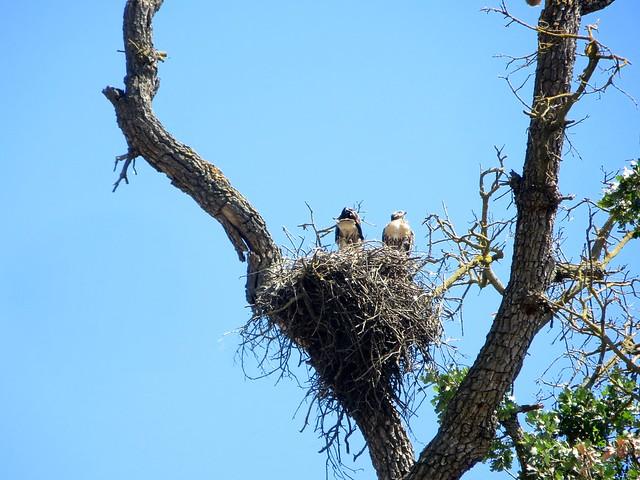 hello baby hawks