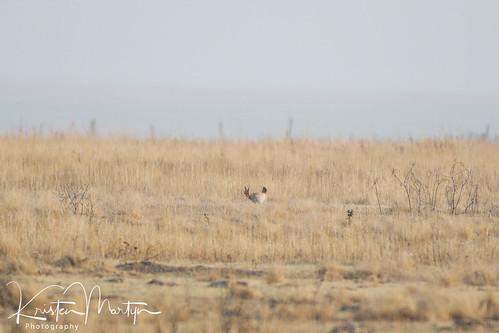Lesser Prairie-Chicken (Tympanuchus pallidicinctus)