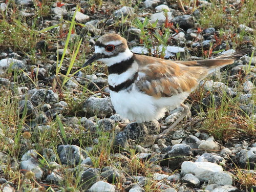 Killdeer at nest 02-20170617