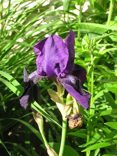 Iris germanica cv.