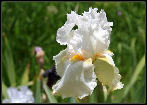 Iris 'Charming Ann' - Ladislav Muska 1994 - NE 34644989890_6bfcf80a34