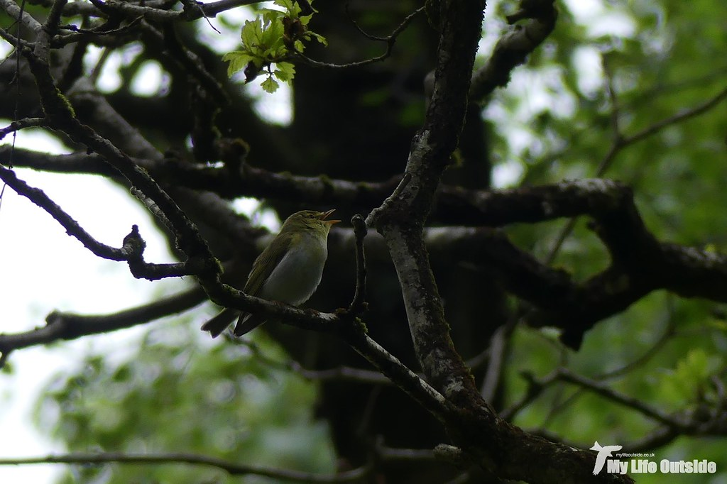 P1080157 - Wood Warbler