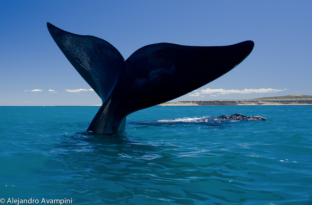 Whale tail in Valdes peninsula