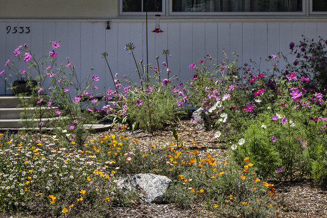 Drought-tolerant wildflowers