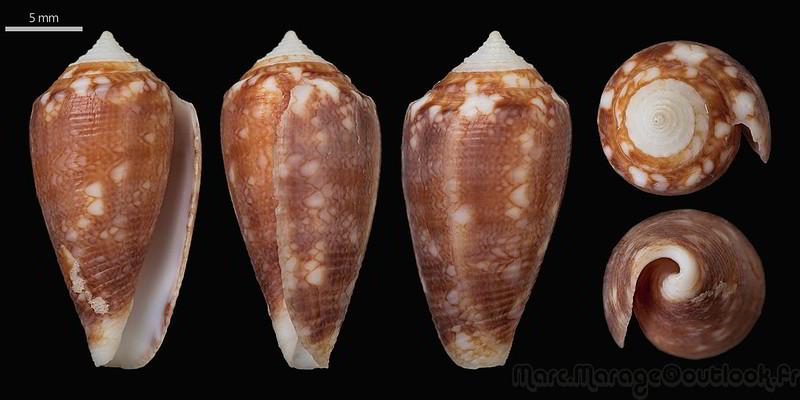 Conus (Cylinder) barbieri    Raybaudi, 1995 34710307470_b7e3b4c5ba_c
