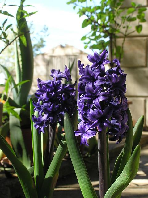 Hyacinthus orientalis 'Blue Trophy'