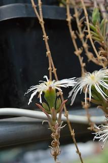 DSC_5962 Drosanthemum marinum  ドロサンテマム マリナム