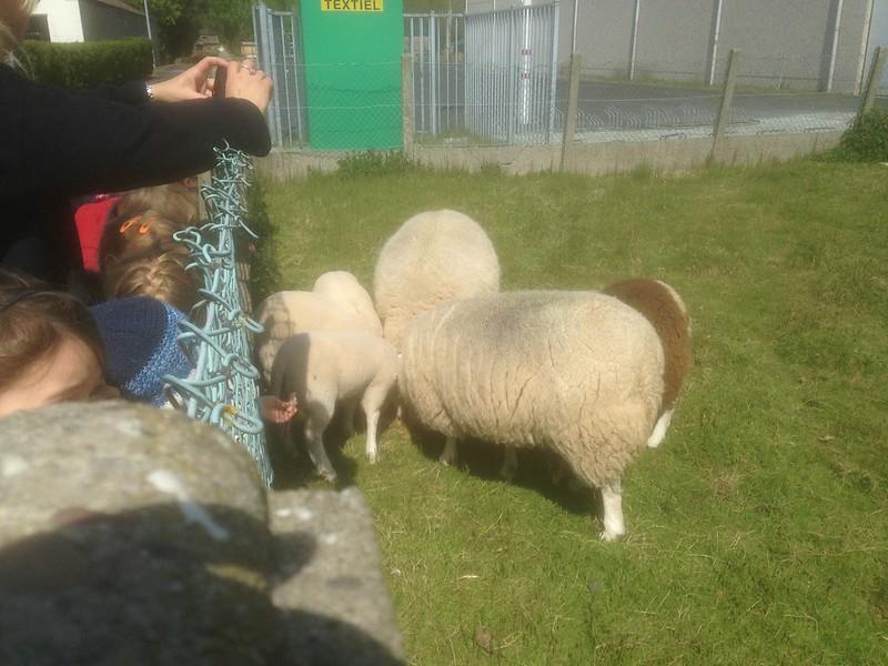 Lente schapen