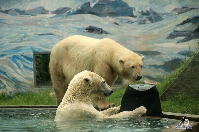 Eisbär Fiete im Zoo Sosto 30.05.2017 088