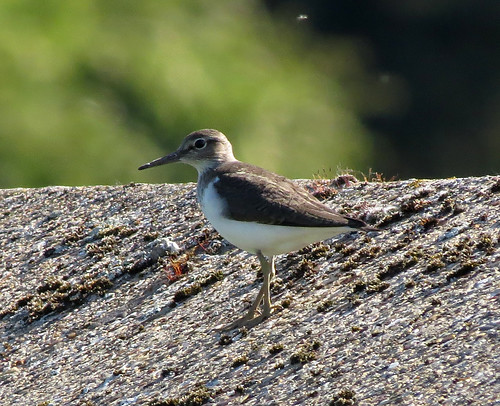 Common Sandpiper Actitis hypoleucos Tophill Low NR, East Yorkshire May 2017