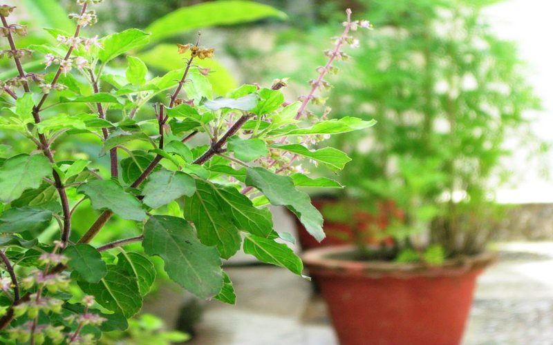 Health Benefits Of Tulsi Plant