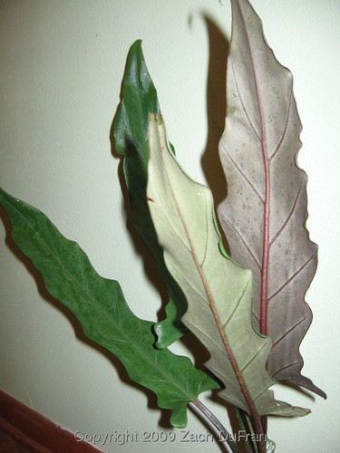 lauterbachiana_leaves