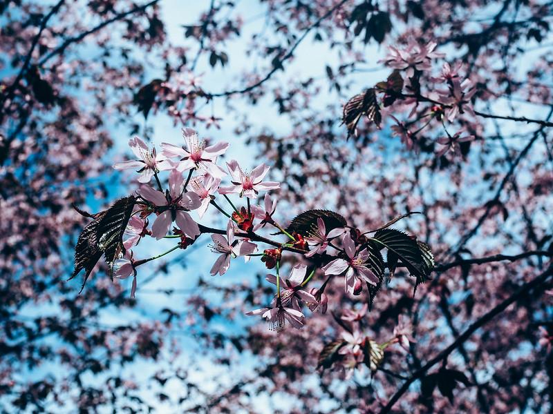 CherryBlossomsHelsinkiRoihuvuoriP5206916.jpg,CherryBlossomParkHelsinkiRoihuvuoriP5206903.jpg, finland, helsinki, roihuvuori, kirsikkapuut, cherry trees, cherry blossom, kirsikkapuiden kukinta, pink flowers, pinkit kukat, kirsikankukat, toukokokuu, may, sakura, cherry blossoms, cherry park, kirsikkapuisto, japanilaistyylinen puutarha, japanise style garden,