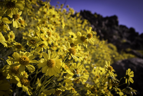 Desert Sunflower (Geraea canescens) | by David A. Burkart