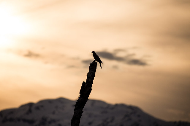 silhouette of bird against mountain sunset