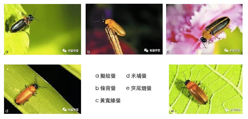 螢火蟲圖片均由中國第一位全面研究螢火蟲的博士,華中農業大學副教授、螢火蟲自然保護研究中心負責人付新華提供