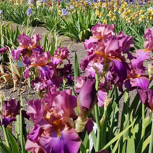 Irisblüte 20170528_104901