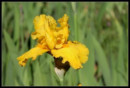 Iris 'Pure As Gold' - W. Maryott 1989 34137646853_dce97b69c2