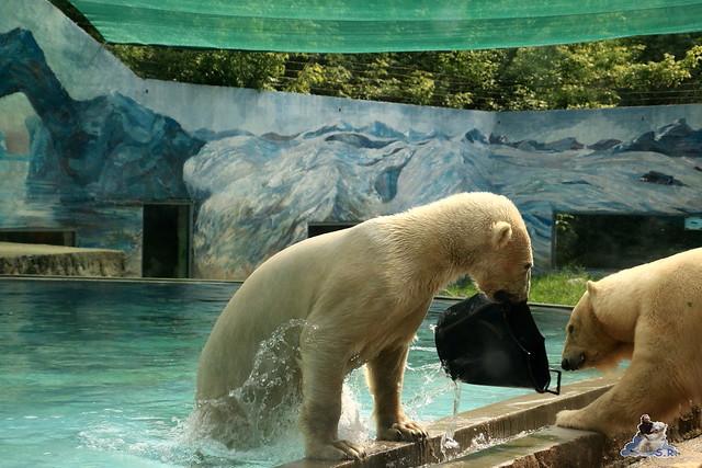 Eisbär Fiete im Zoo Sosto 30.05.2017 049