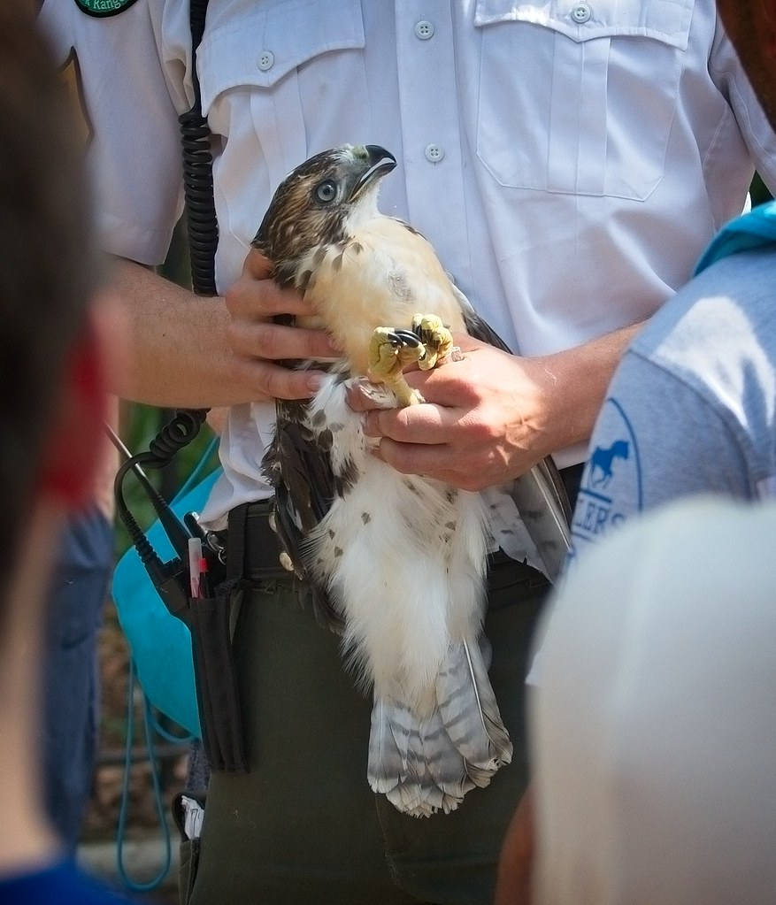Hawk adoption in Tompkins Square