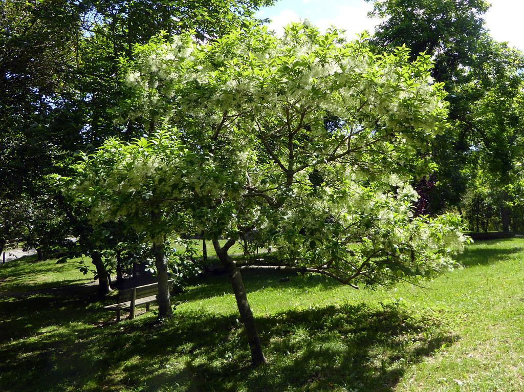 Chionanthus virginicus l 1753 oleaceae arbolito o - Alberello da giardino ...