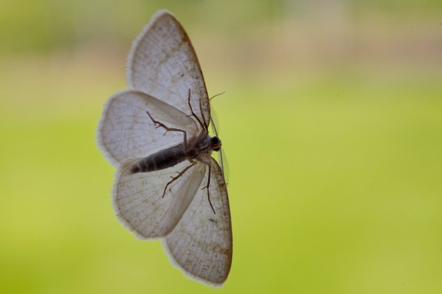 Window Moth