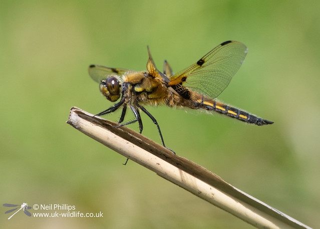 4 spotted chaser-11