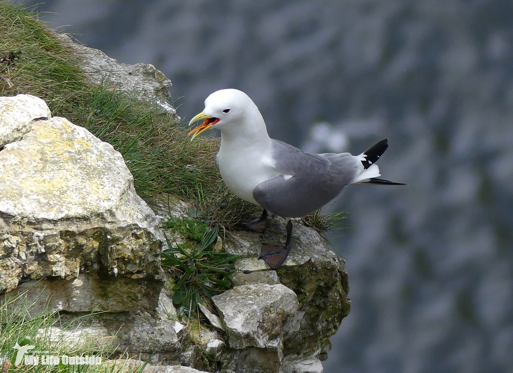 P1080417 - Kittiwake, Bempton Cliffs