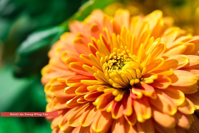 Chrysanthemum Blossom