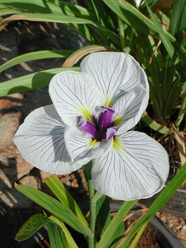 ces quelques fleurs de nos jardins 34252648453_9f0ab32ff9