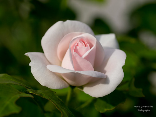Rose | by gartenzaun2009