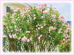 Numerous flowering shrubs of Nerium oleander (Rosebay, Nerium, Oleander) to create a dense hedge, 26 July 2011