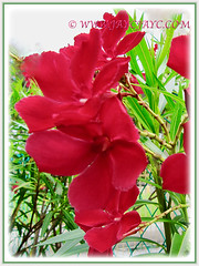 Captivating red blossoms of Nerium oleander (Rosebay, Nerium, Oleander), 26 July 2011