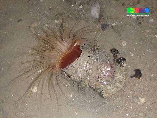 Common cerianthid with Phoronid worms (Phoronis australis)