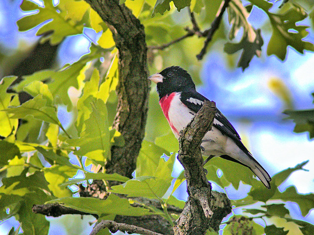 Rose-breasted Grosbeak 2-20170518
