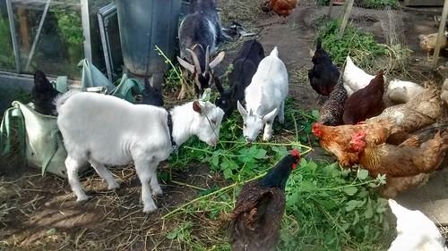 goats feeding June 17 4