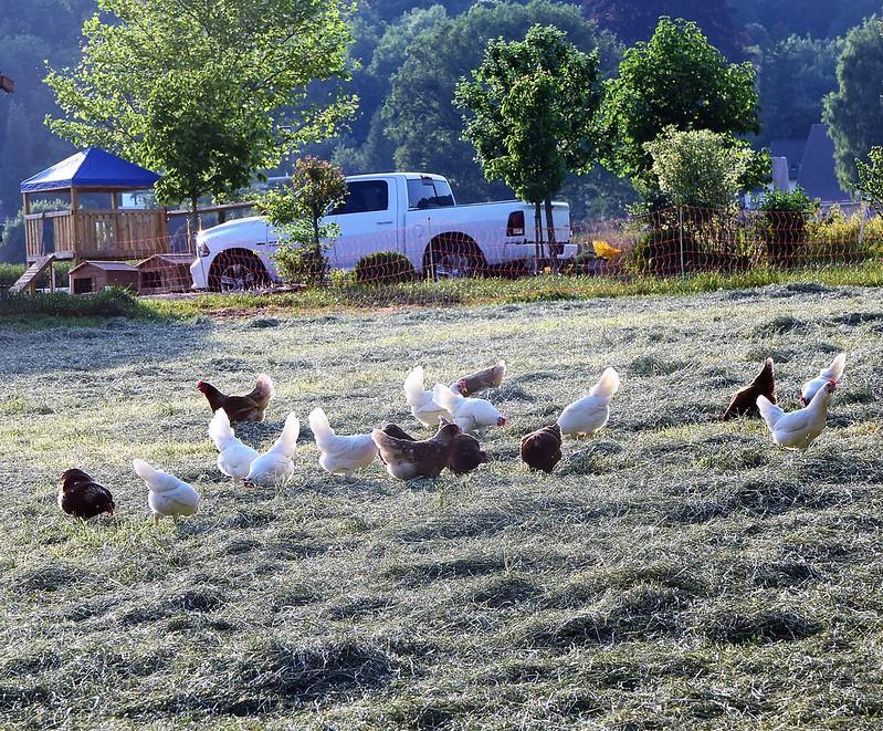 Chickens 28.05 (2)
