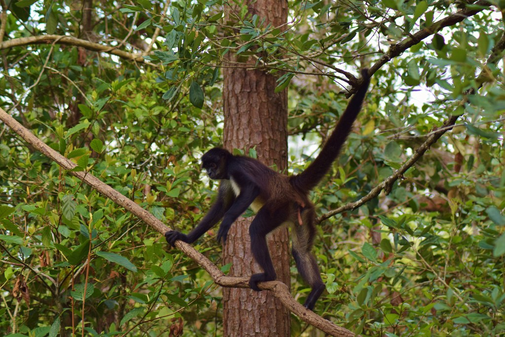 Visiting Belize Zoo day tour - spider monkey