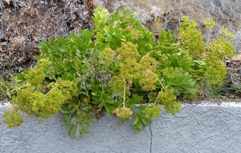 Astydamia latifolia 35025433075_58e28ee5ab_o