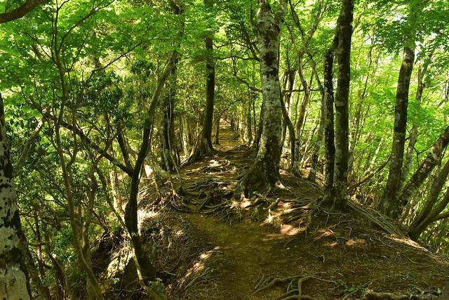畦ヶ丸 新緑の尾根道
