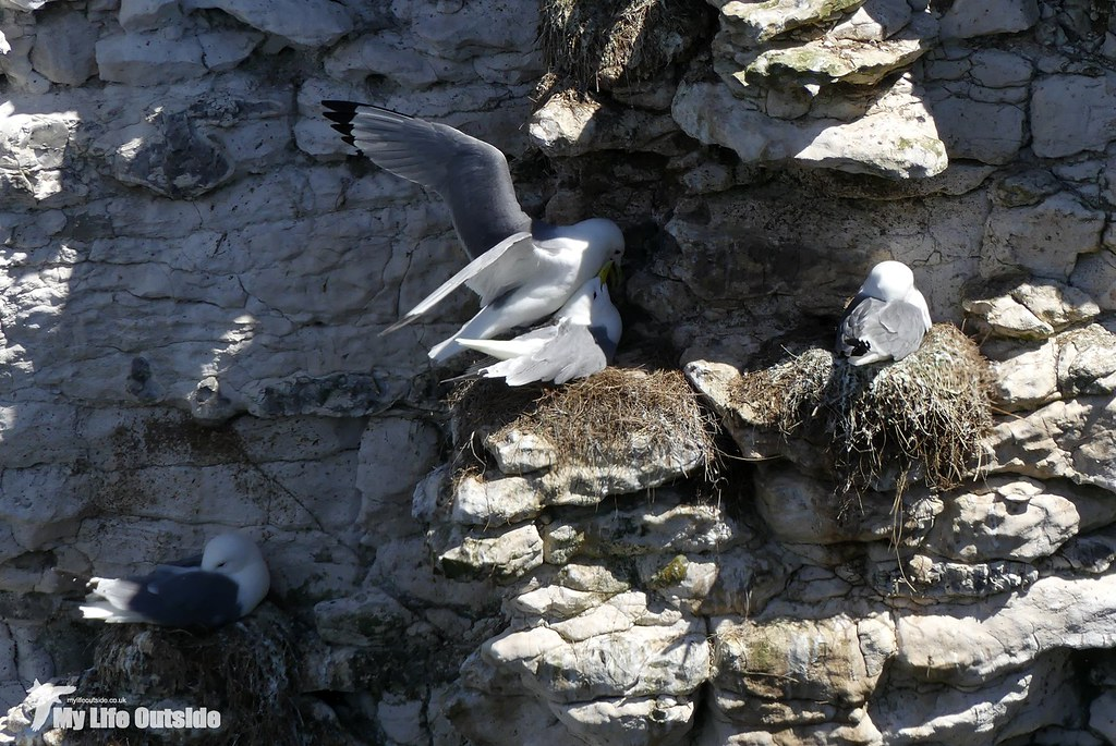 P1080355 - Kittiwake, Bempton Cliffs