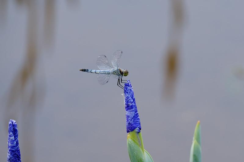 シオカラトンボ Orthetrum albistylum speciosum