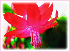 Marvellous vibrant red flower of Schlumbergera truncata (Christmas Cactus, Thanksgiving/Holiday Cactus, Zygocactus, Crab Cactus), 18 June 2017