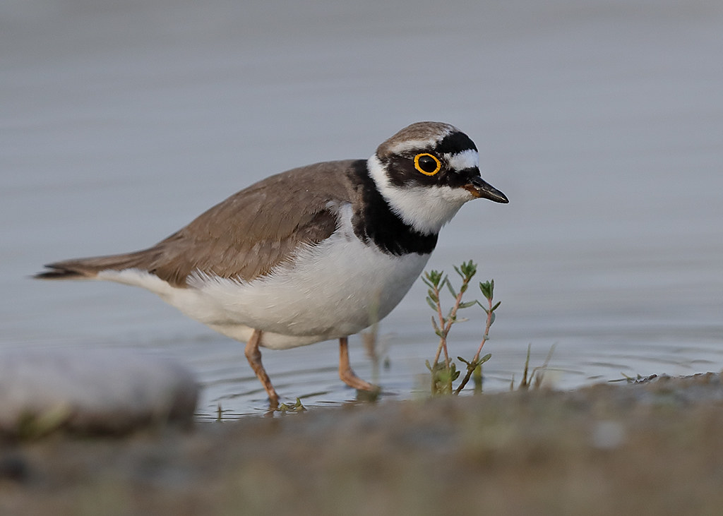 Little Ringed Plover   Charadrius dubius