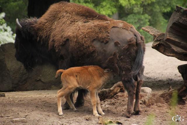 Tierpark Friedrichsfelde 25.05.174